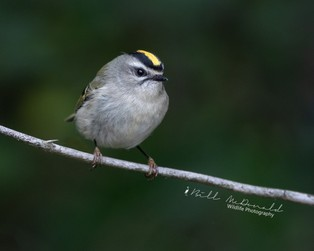 Golden-crowned Kinglet.jpg