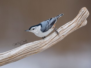 White-breasted Nuthatch  LR.jpg