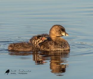 Pied-billed Grebe + chick.jpg