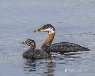 Red-necked Grebe.jpg