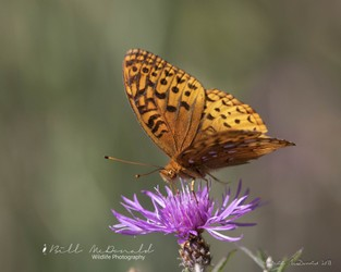 Great Spangled Fritillary  Butterfly.jpg