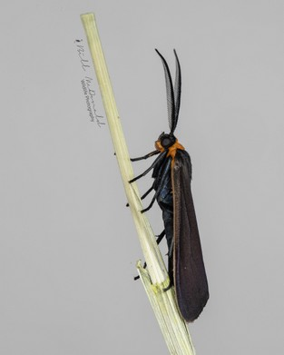Yellow-collared Scape Moth.jpg