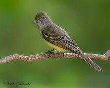 Great-crested Flycatcher.jpg