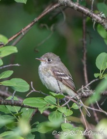 Least Flycatcher.jpg